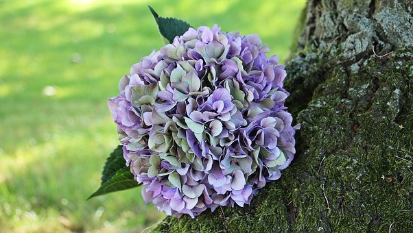 Hydrangea, Flower, Blossom, Bloom, Summer, Blue, Purple