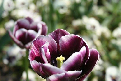 Tulips, Purple, Flowers, Meadow, Field, Spring, Rural