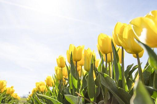 Tulips, Netherlands, Flowers, Bloom, Spring, Tulip