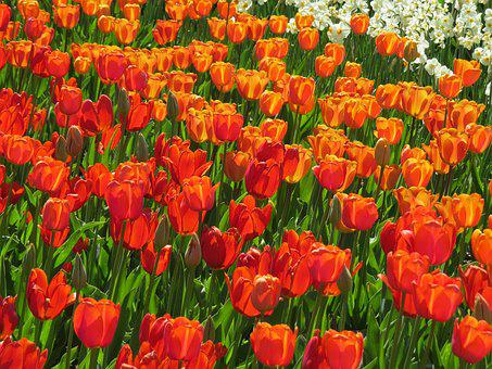 Tulip Field, Red, Orange, White
