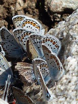 Butterflies, Restharrow's Blue, Polyommatus Icarus