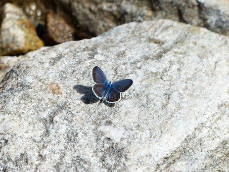 Butterfly, Restharrow's Blue, Polyommatus Icarus