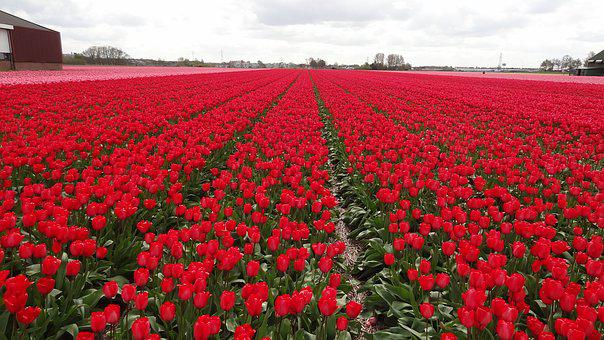 Field Of Tulips, Spring, Red Flower, Field