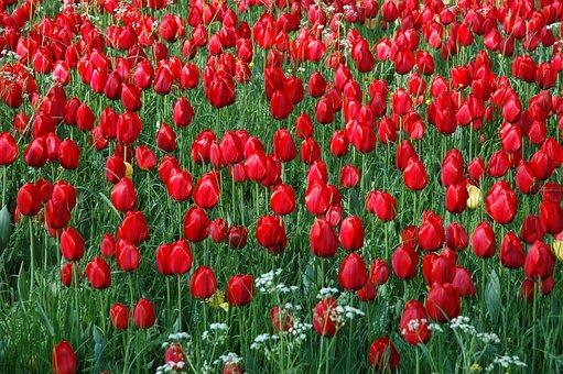 Flowers Island Mainau, Sea Of Flowers, Tulip Field