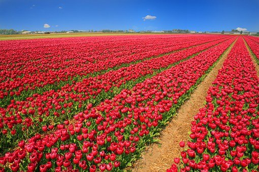 Tulip Field, Tulips, Red, Holland, Nature, Flowers