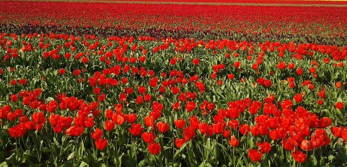 Tulips, Field, Tulip Field, Holland, Flower, Plant