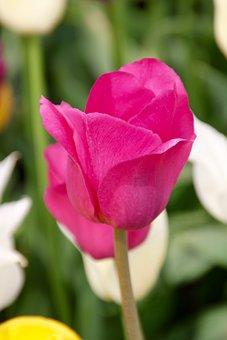 Tulip, Tulip Field, Tulpenbluete, Spring, Tulip Fields