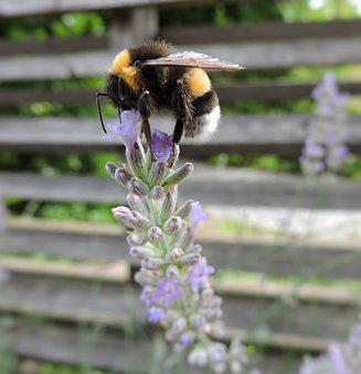 Hummel, Lavender, Garden Tulln, Violet, Nature