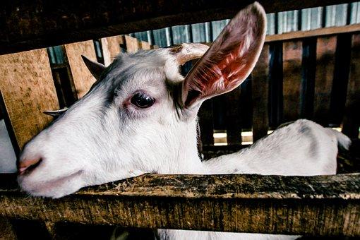 Goat, White, Farm, Animal, Domestic, Nature, Cute