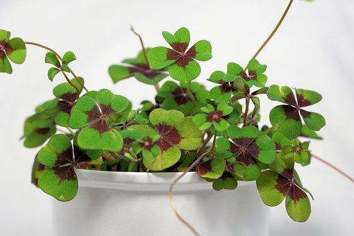 Klee, Luck, Four Leaf Clover, Lucky Charm, Lucky Clover