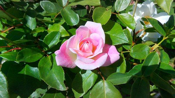 Rose, Flower, Perennial, Leaf, Petal, Nature, Plant