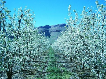 Apple, Blossom, Orchard, Spring, Bloom, Plant, Tree