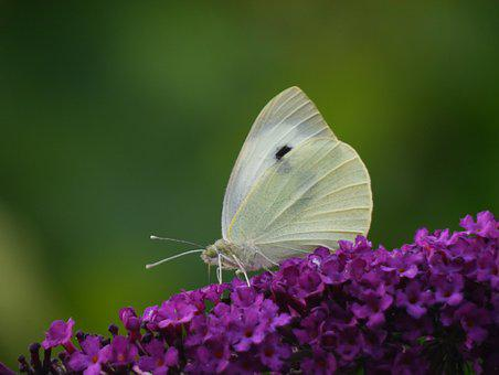 White Butterfly, Buddleia, Butterfly, Summer, Insect