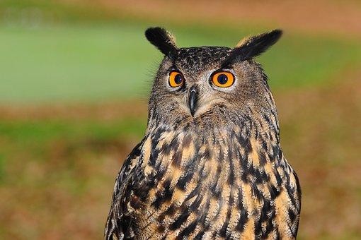 European Eagle Owl, Bird Of Prey, Owl, Bird, Sharp Look