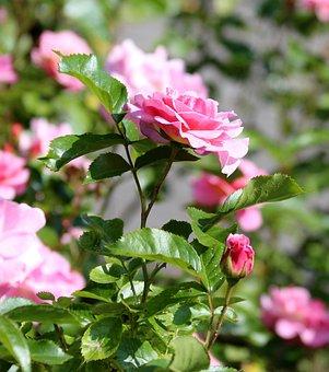 Pink Roses, Rosebush, Roses, Flowers, Bright, Closeup