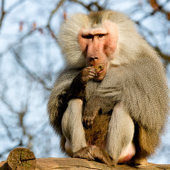 Baboon, Monkey, Zoo, Food