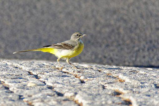 Bird, Grey Wagtail, Animal World, Yellow, Grey