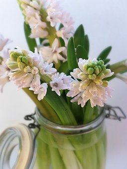 Hyacinths, Bulbs, Pink, Leaves, Spring, Garden, Flower