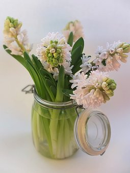 Hyacinth, Pink, Bulbs, Spring, Scented, Flowers, Jar