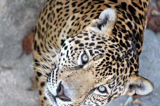 Jaguar, Panthera Onca, Predatory Cat, Wild Cat