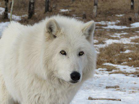 Arctic Wolfdog, Wolfdog, Wolf, Dog, Sanctuary