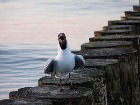 Seagull, Baltic Sea, Bird, Water Bird, Beach, Usedom