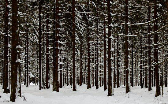 Forest, Fir Forest, Snow, Winter, Cold, Nature, Wintry