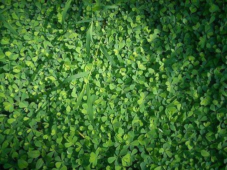 Clover, Grass, Green, Dew, Wet, Plant, Meadow, Garden