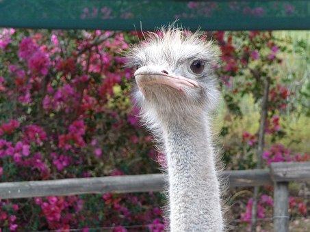 Strauss, South Africa, Bouquet, Ostrich, Africa, Bird