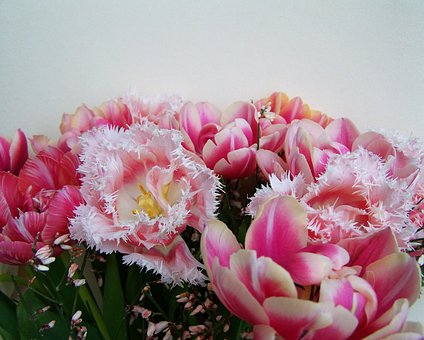 Tulip Bouquet, Pink And White Flowers, Cut Flower