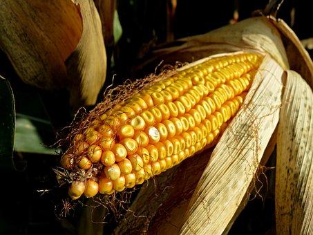 Corn On The Cob, Fodder Maize, Field, Corn, Plant, Food