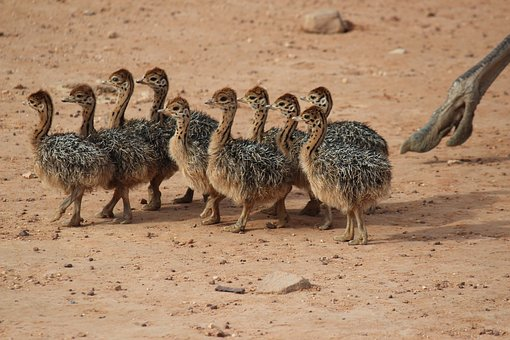Ostriches, Young Ostriches, Animals, Safari, Runner