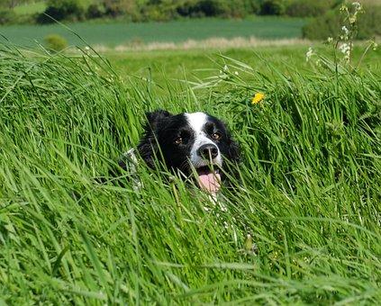 Collie In Grass, Facing, Camera, Border, Cute, Portrait
