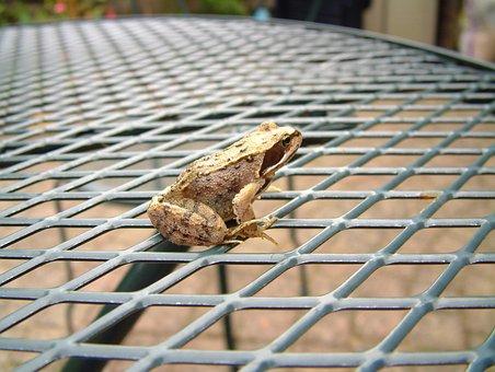 Frog, Brown Frog, Brown, Frogs, Amphibian, Amphibians