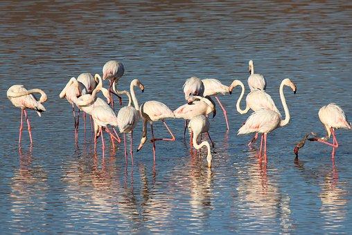 Flamingo, Bird, Pink, Beak, Pink Flamingo, Feathers