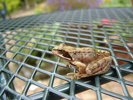 Frog, Brown Frog, Brown, Rana, Rana Temporaria