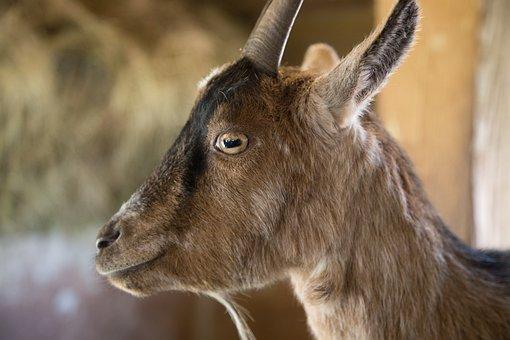 Goat, Close, Animal, Goat's Head