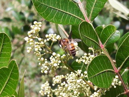 Bee, Bees, Drone, Garden, Flower, Yellow, Banana Tree