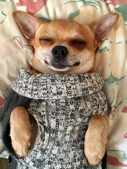 Dog, Animals, Nos, Pets, Fur, Sobel, Chihuahua