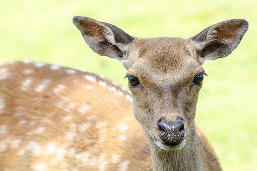 Deer, Young, Nature, Natural, Wild, Wildlife, Fawn