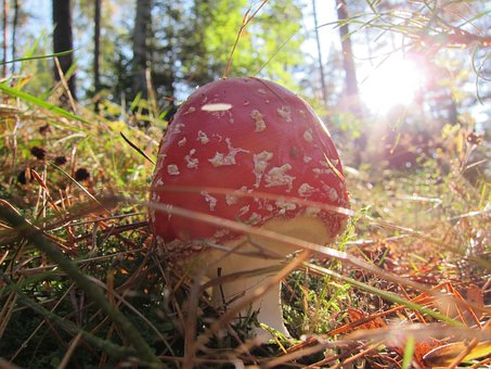 Fly Agaric, Mushroom, Toxic, Nature, Forest