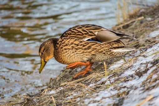 Mallard, Duck, Anas Platyrhynchos, Water Bird, Bird