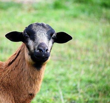 Goat, Curious, Animal, Domestic Goat, Fur, Livestock