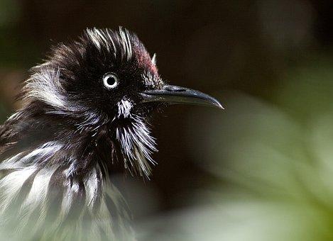 New Holland Honeyeater, Bird, Western Australia