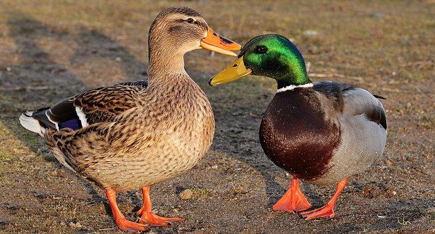 Drake, Duck, Duck Bird, Winter, Water Bird, Bird