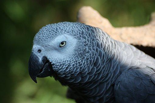 Parrot, African Grey Parrot, Grey, Close