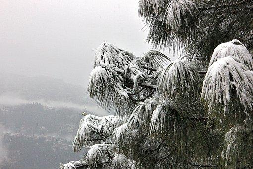 Snow, Tree, Shimla, Himachal, Pardesh, Dangerous