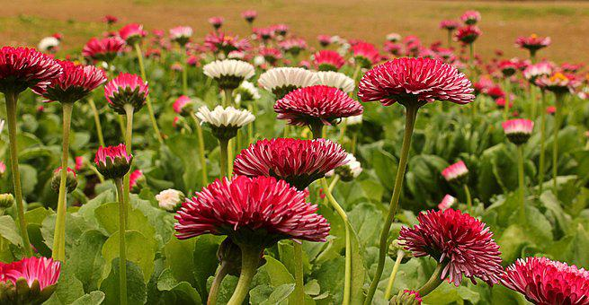 Flower, Rose, Garden, Chandigarh, Floral, Nature, White