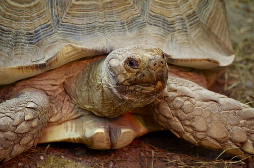 Turtle, Animal, Reptile, Zoo, Greek Tortoise