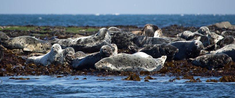 Seals, Grey Seal, Atlantic Grey Seal, Animal, Wildlife